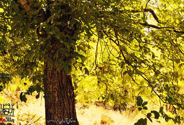 تصویر زمینه درخت گردو-روستای آزران
